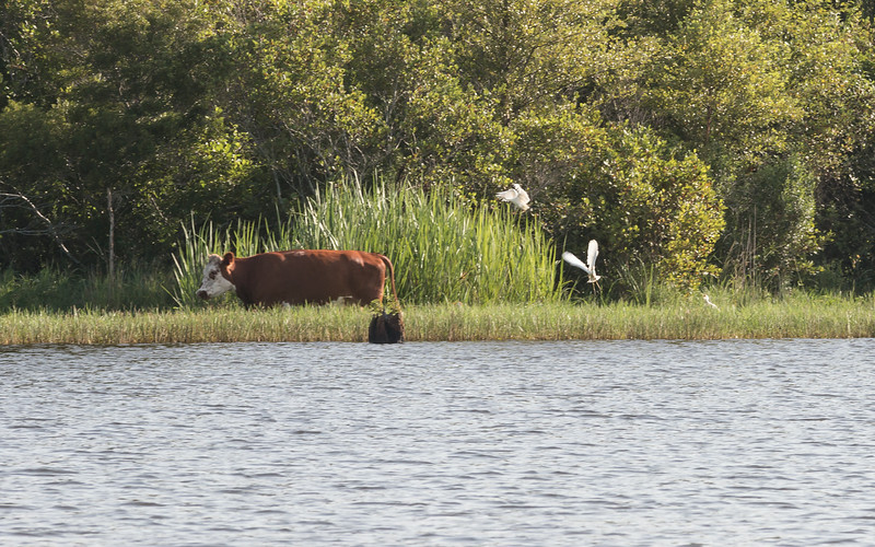 wading cow with birds