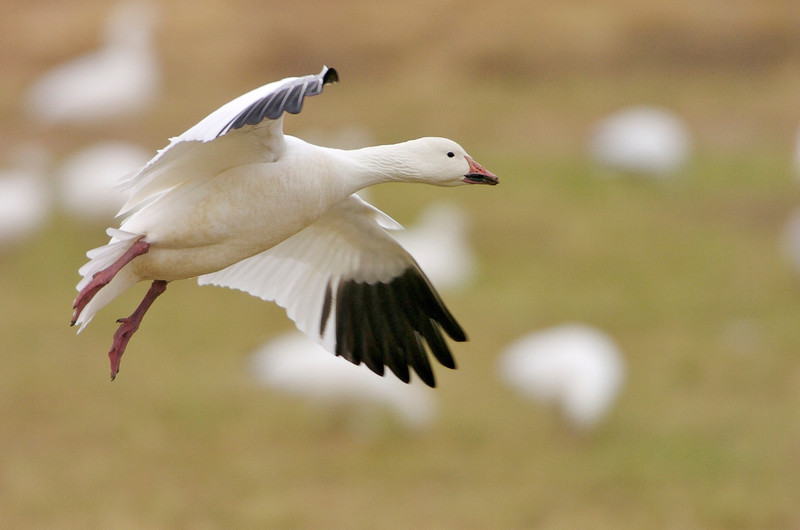 Snow Goose In-Flight #1 0715380