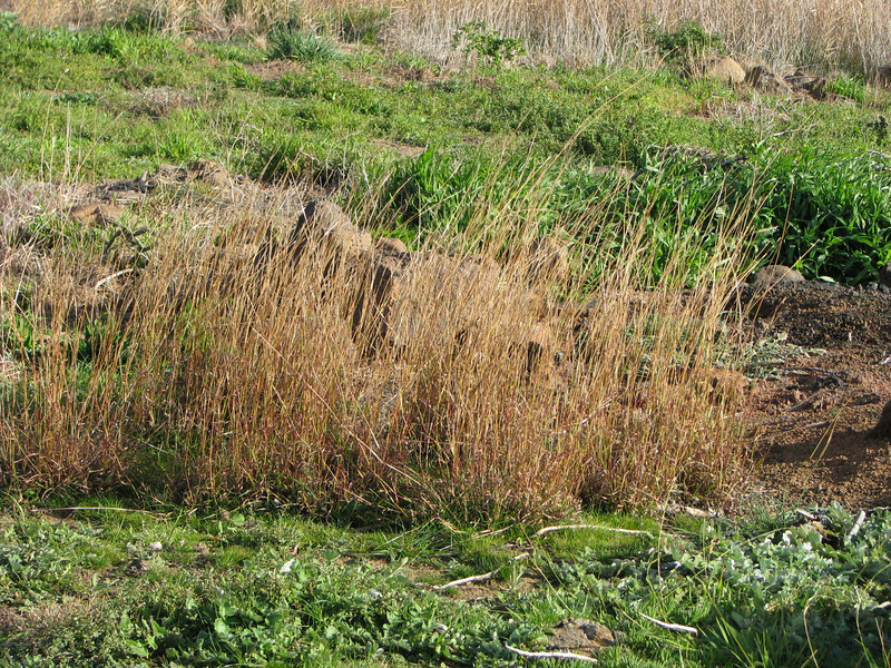 Bothriochloa macra / Red-leg Grass #
