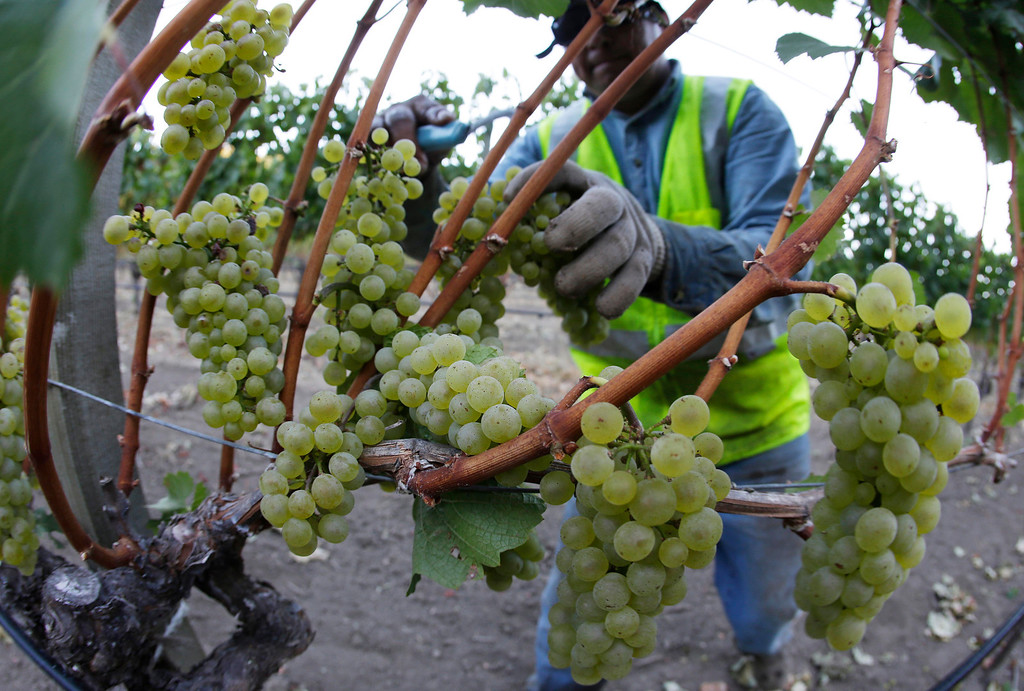 . Chardonnay grapes are picked in the Stelling Vineyard at Far Niente winery Wednesday morning, Aug. 28, 2013 in Oakville, Calif. Harvest is underway in the Napa Valley with the picking of grapes for white and sparkling wine. (AP Photo/Eric Risberg)