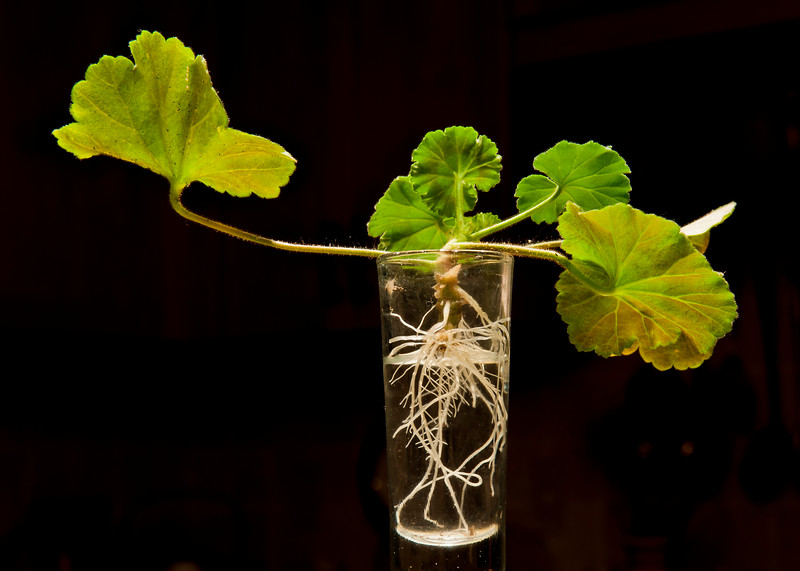 Geranium Clippings - indoors.jpg