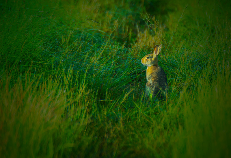 6.3.17 - Beaver Lake Fish Nursery: Eastern Cottontail Rabbit