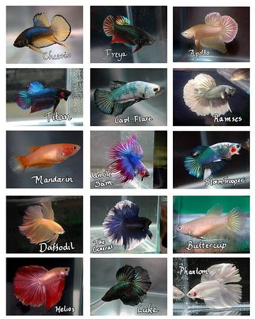 Betta Collages