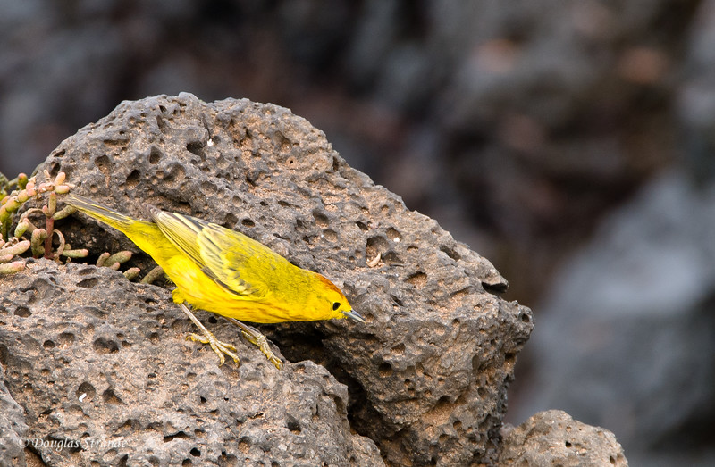 Yellow Warbler on lava, South Plaza Island