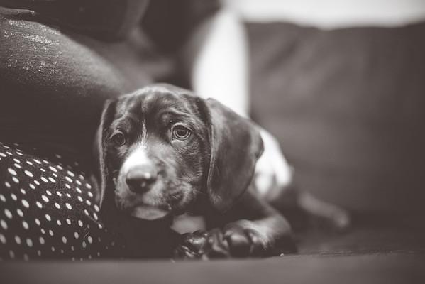 Copper Puppy Newborn {12-20-15}