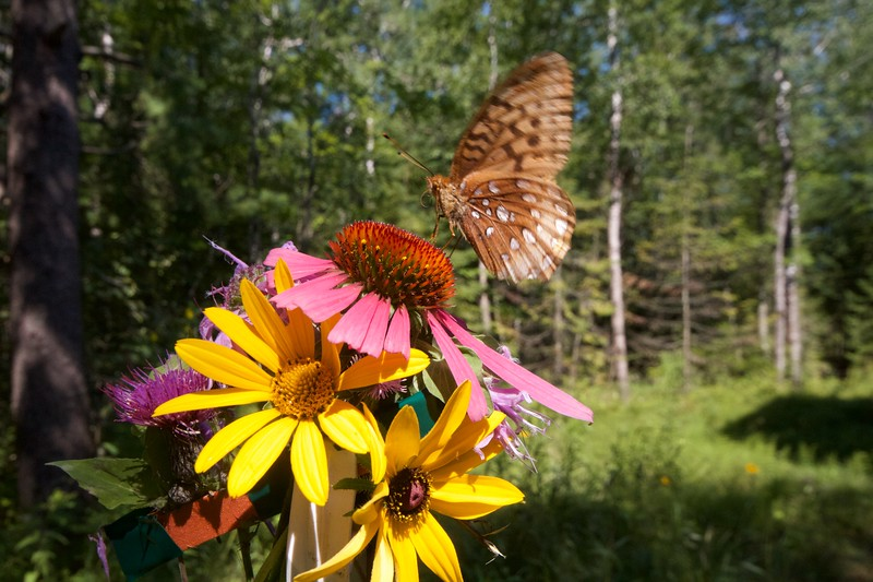 fritillary Great Spangled Fritillary Speyeria cybele Skogstjarna Carlton County MN IMG_0062485.CR2.jpg