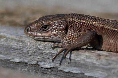 Roomajad - Reptiles