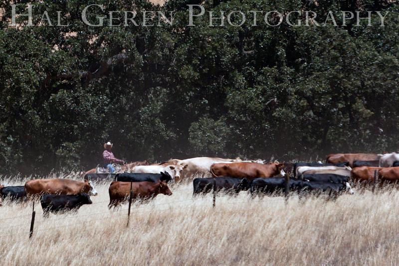 Sunol Cattle Drive 2012