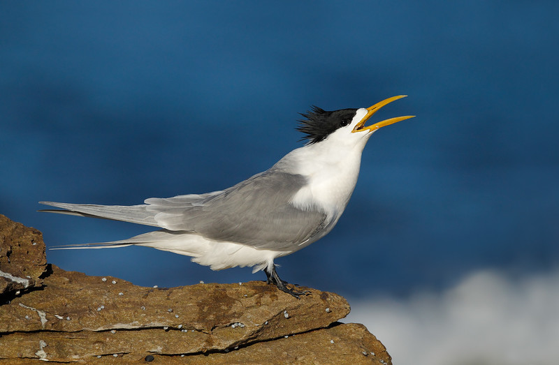 Crested Tern calling MASTER.jpg