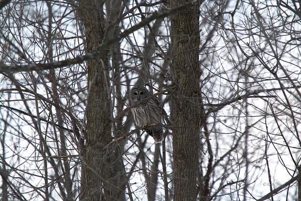 Barred Owl 2014