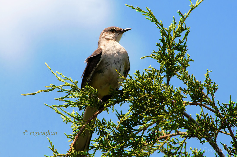 July 12-12_Northern Mockingbird Mill Creek Marsh_RTGeoghan_0682.jpg