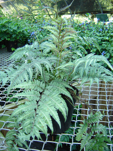 Athyrium 'Regal Red' 