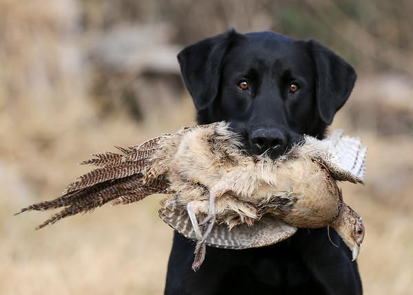 Labrador Retreiver Training - Pam Wilson