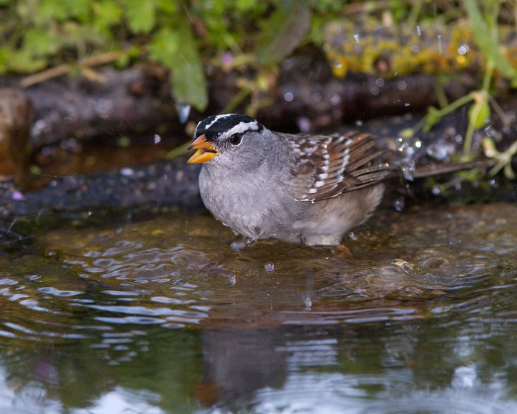 White-crowned Sparrow Splashing