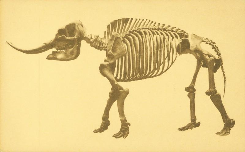 Mastodon from La Brea Pits