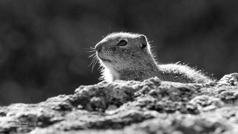 Uinta Ground Squirrel, b&w, Yellowstone NP, WY, USA May 2018-1.jpg