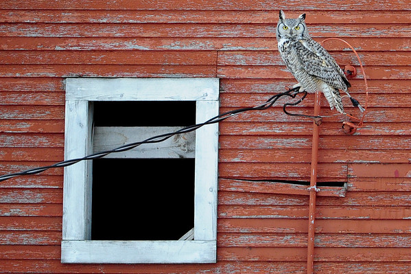 6-7-14 *Great Horned Owl In Red Barn Window