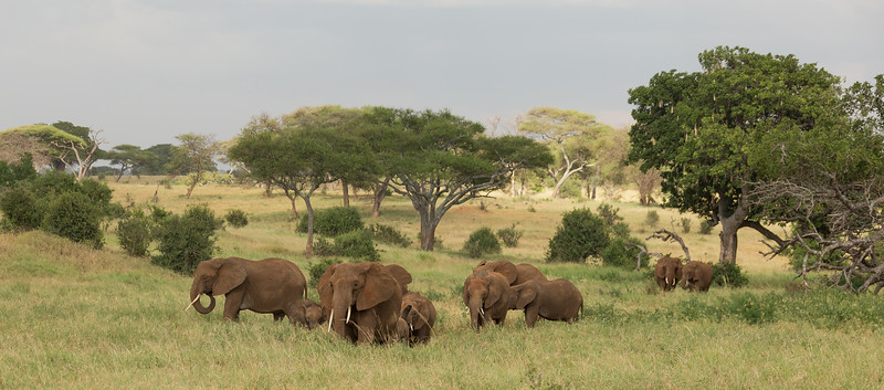 A herd of African elephants slowly moves toward the river for their evening drink at the watering hole.