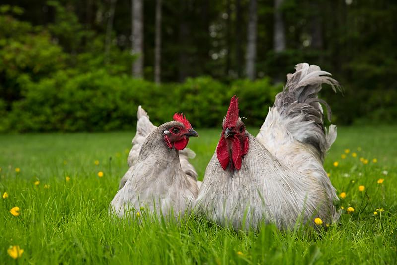 chicken couple.jpg