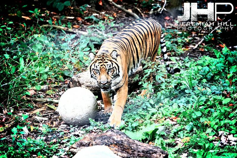 """Toronto Tiger #1"", Toronto Zoo, 2013 Print JP13-99-276"