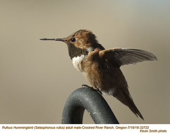 Rufous Hummingbird M32722.jpg