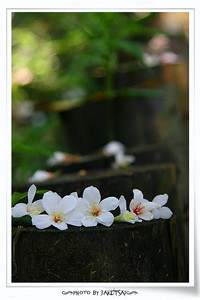 20080502 土城桐花節