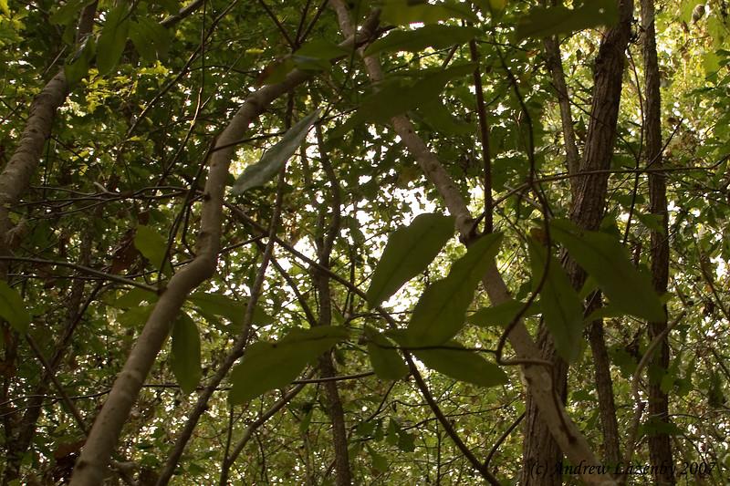 Magnolia virginica.jpg