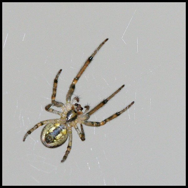9817 Small Spider.jpg