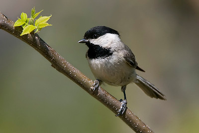 Chickadees and their Allies