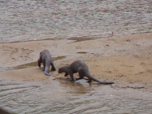 DSCF1046 otters across sand.AVI