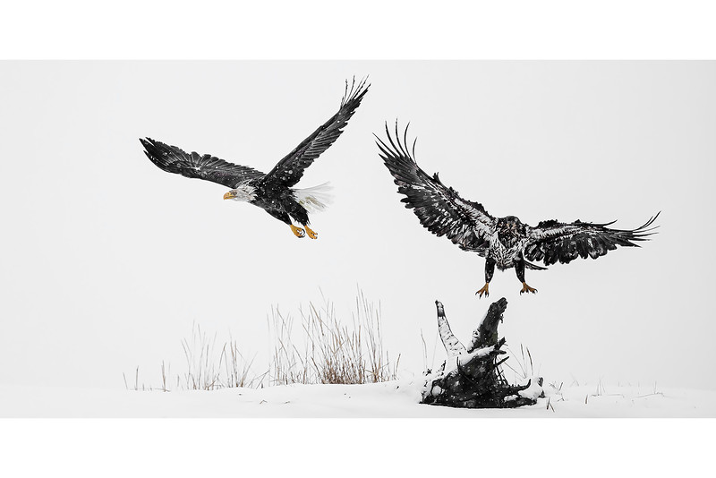 Bald Eagles Environment