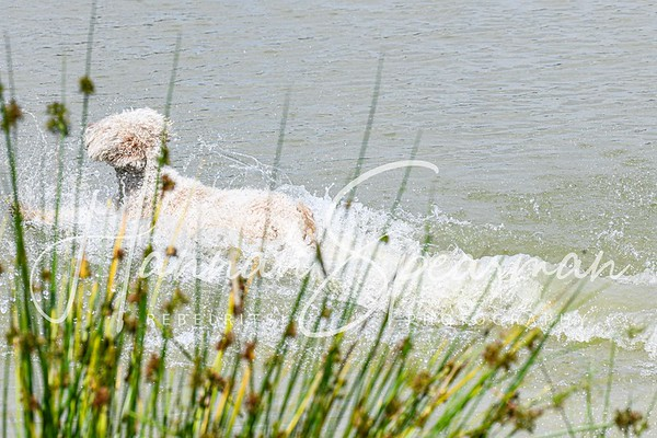 Lagotto Romagnolo Water training July 2019