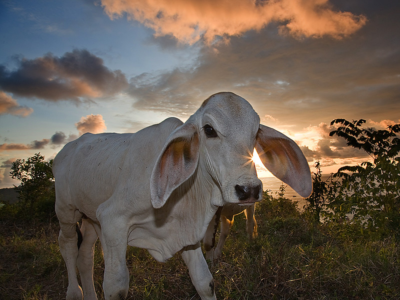 Cow Costa Rican.jpg