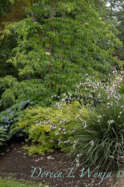 Libertia chilensis in a landscape_6995.jpg