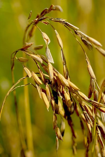 Hofwyl Rice Grown after 90+ Years 09-15-10