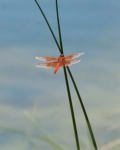 ODONATES  -  Dragonflies & Damselflies