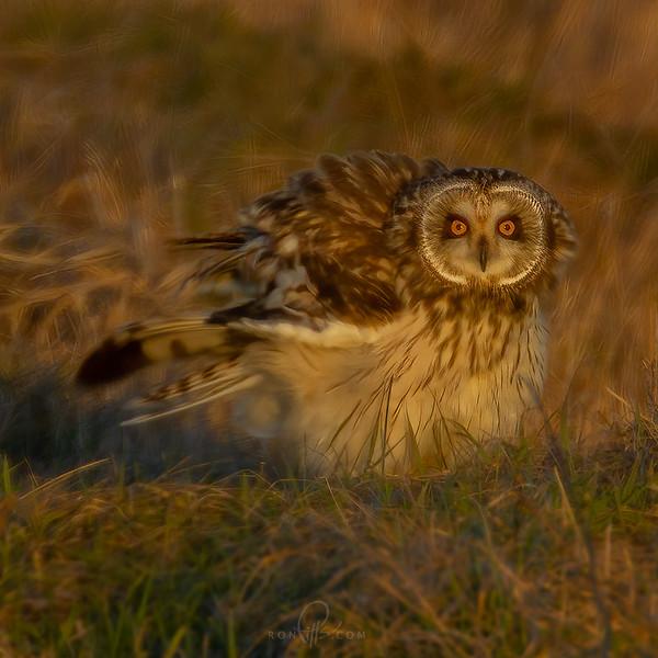 sm owl_M4D6482.jpg
