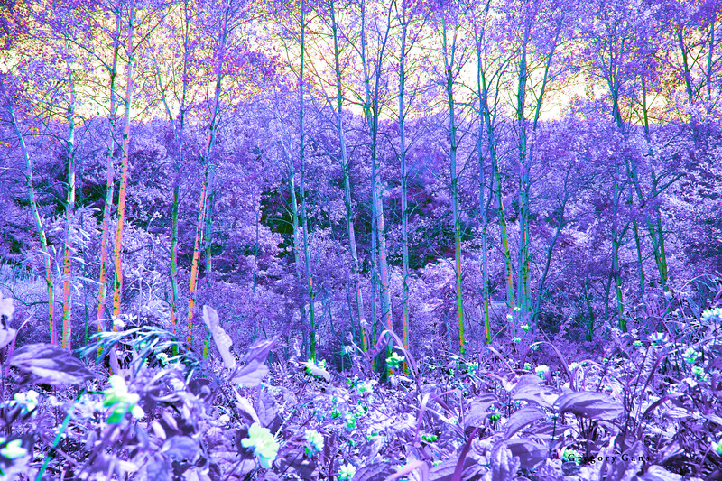 Birches & WildFlowers_3595.jpg