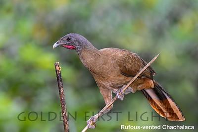 Rufous-vented Chachalaca, Trinidad & Tobago