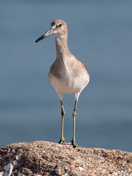 The Willet again.