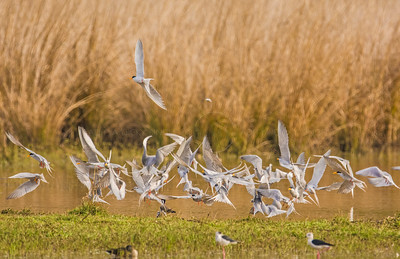 Terns flying on the shore of a lake