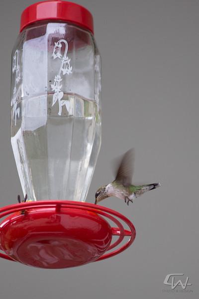 Hummingbird-1912.jpg