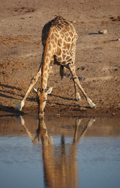 Giraffe - 7028.jpg