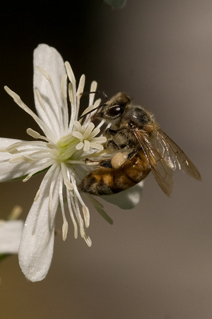 Bee on White Flower-9426.jpg