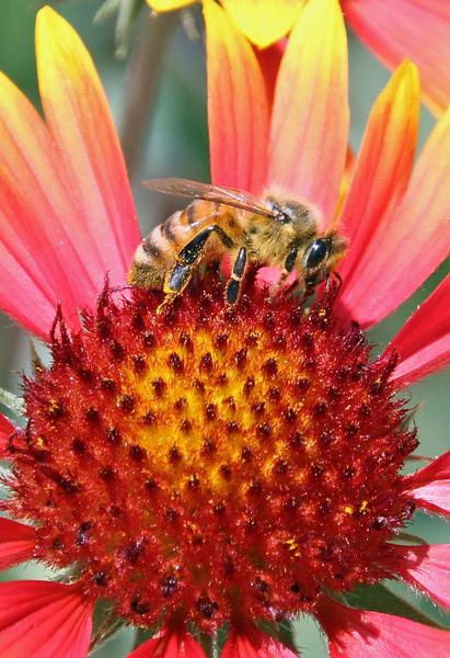 Honey bee 13