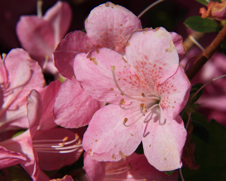 130427_IMG_1791r1a_6321_Blossoms.JPG