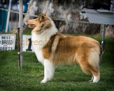 2014 OEDC - Collie (Rough)