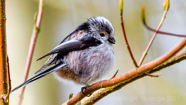 Long Tailed Tit digesting