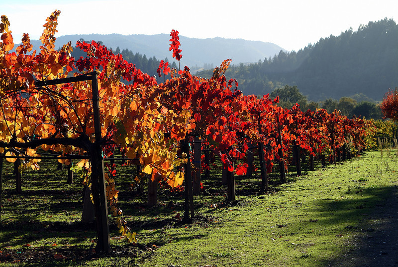 Red and Golden Vines - Silverado Trail, Napa Valley