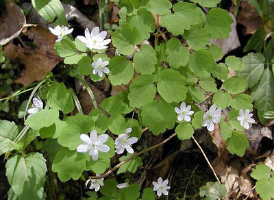 21 Delicate-blossoms-of-Windflowers.jpg